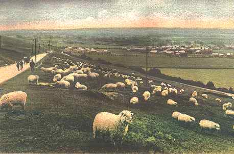 Sheep grazing on Portsdown - 1905